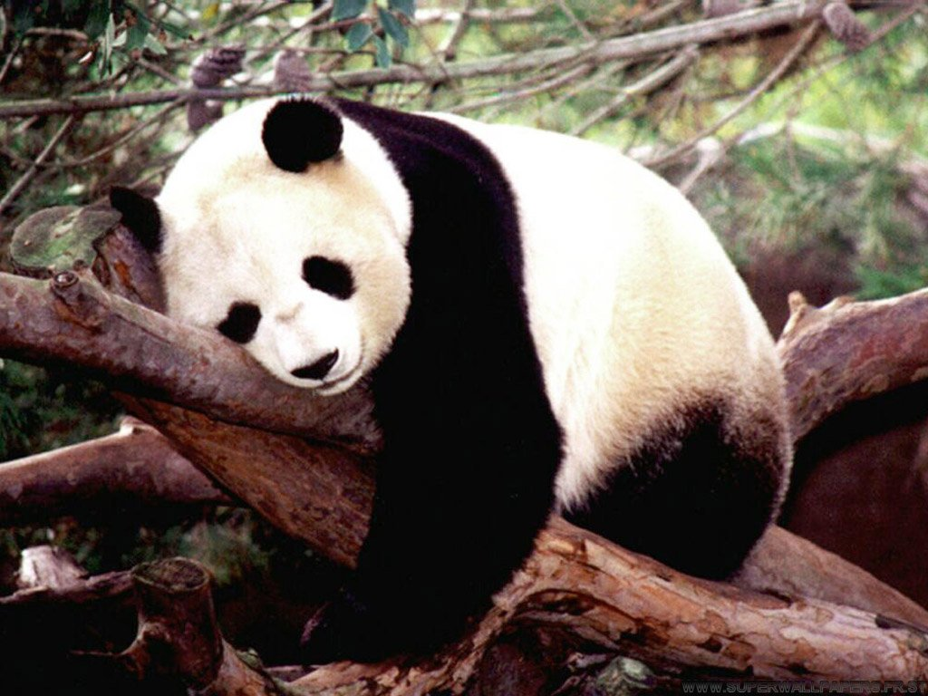 This is a Panda!